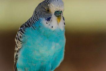En undulat er den fødte selskabsfugl